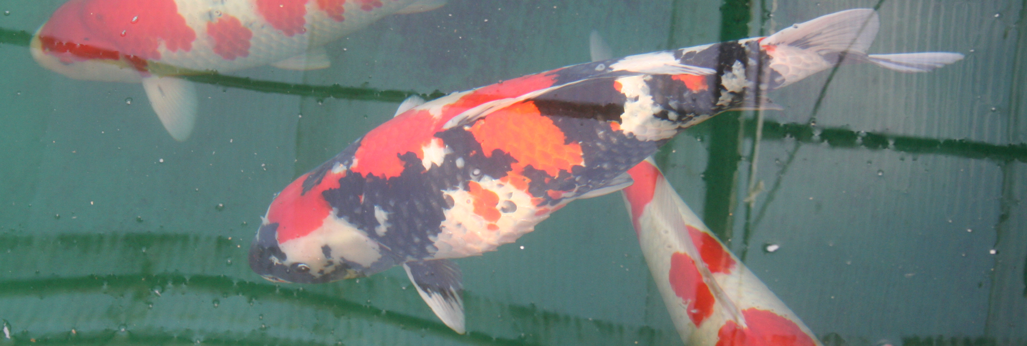 Koi Symptom Diagnosis Hanover Koi Farms