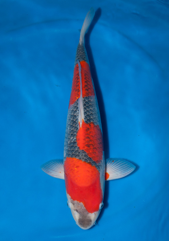 Guide to koi breeds goshiki hanover koi farms for Koi fish price guide