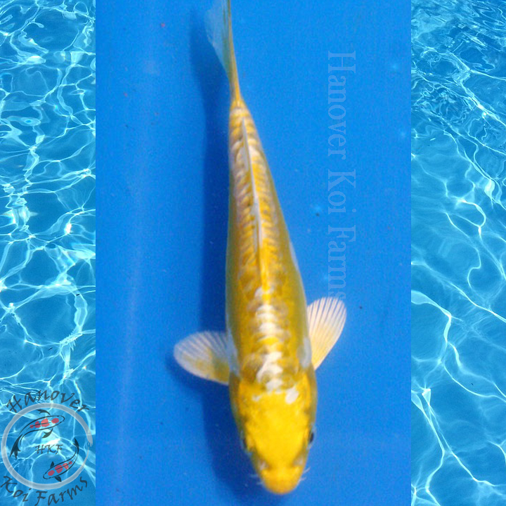 Kin kikokuryu 6 8 hanover koi farms for Expensive koi fish for sale