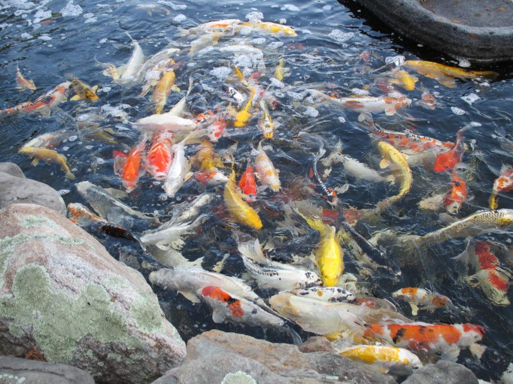 pond and fish by hanover koi farms