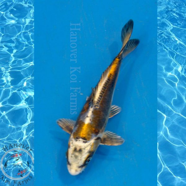 This is a Golden Kin Kikokuryu Hanover Koi Farms
