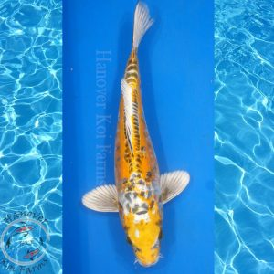 "This is a Doitsu Kujaku 14"" long from Hanover Koi Farms"