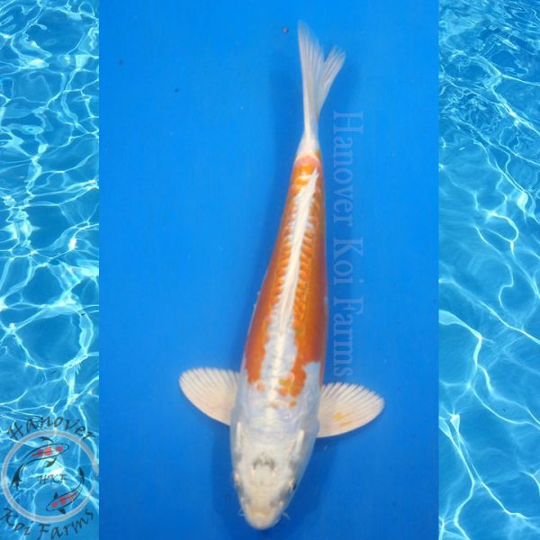 "This is a Doitsu Kujaku 11"" long from Hanover Koi Farms"