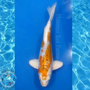 "This is a Doitsu Kujaku 10"" long from Hanover Koi Farms"