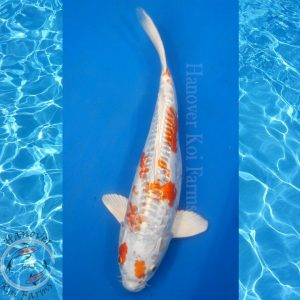 "This is a Doitsu Kujaku 12"" long from Hanover Koi Farms"