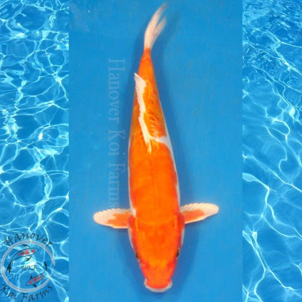 "This is a Doitsu Kujaku 12.5"" long from Hanover Koi Farms"