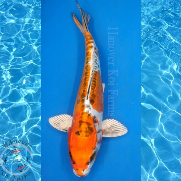 Doitsu kujaku from hanover Koi farms