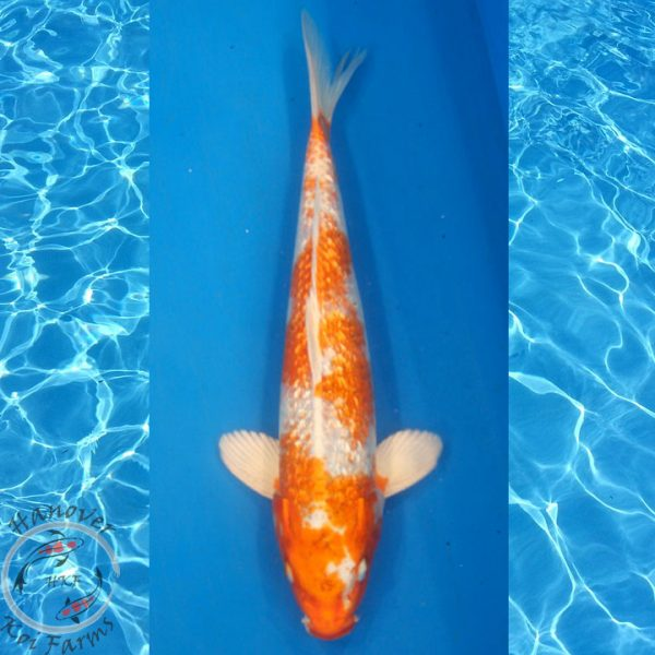 "This is a Gin Rin Hariwake 12"" long from Hanover Koi Farms"