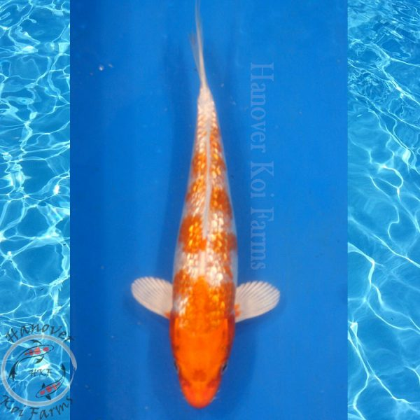 "This is a Gin Rin Hariwake 10"" long from Hanover Koi Farms"