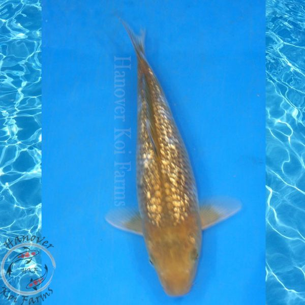 "This is a Gin Rin Ochiba Shigure 11"" long From Hanover Koi Farms"