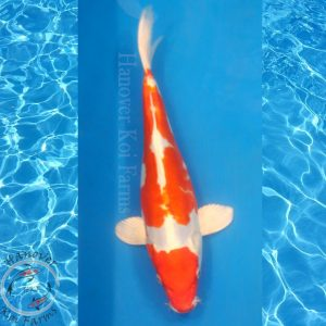 "This is a Kikusui 10"" long from Hanover Koi Farms"