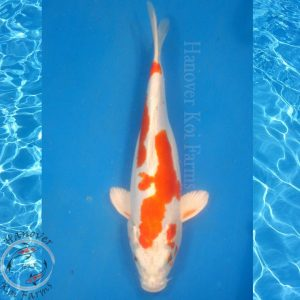 "This is a Kikusui 12"" long from Hanover Koi Farms"