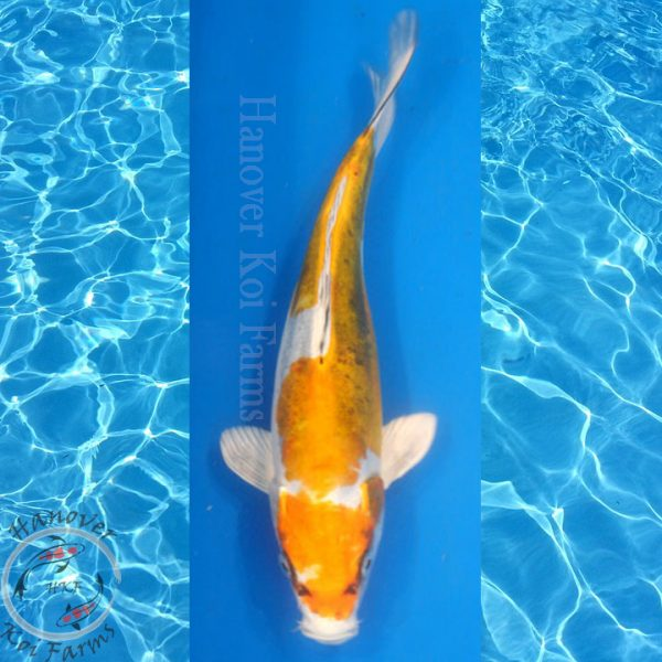 "This is a Kin Kikokuryu 11"" long from Hanover Koi Farms"