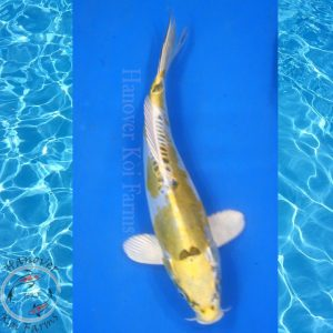 "This is a Kin Kikokuryu 10.5"" long From hanover koi farms"