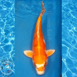 "This is a Kin Kikokuryu 12"" long from Hanover Koi Farms"