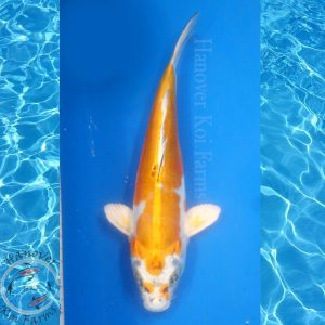 "This is a Kin Kikokuryu 10"" long from Hanover Koi Farms"