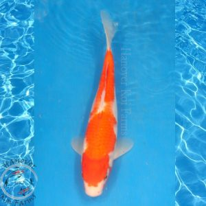 "This is a Kohaku 10.5"" long from Hanover Koi Farms"