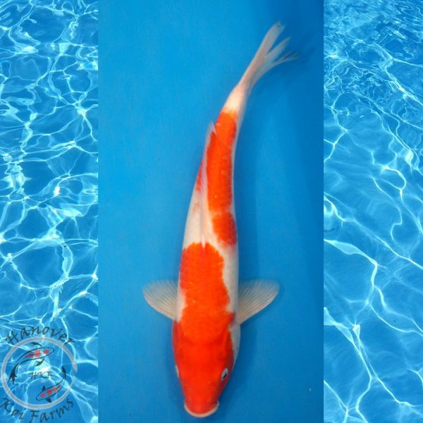 "This is a Kohaku 14.5"" long from Hanover Koi Farms"