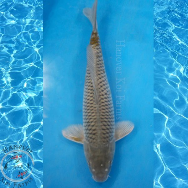 "This is a Ochiba Shigure 16"" long from Hanover Koi Farms"