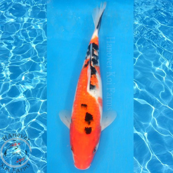 """This is a Sanke 11"""" long from Hanover Koi Farms"""