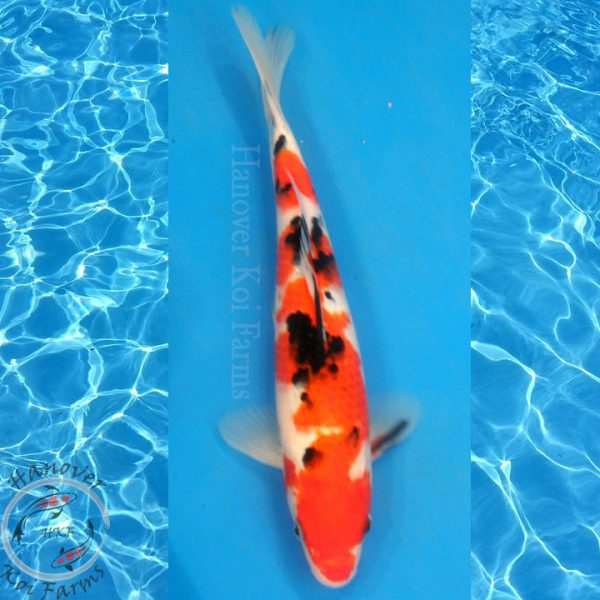 "This is a Sanke 12"" long from Hanover Koi Farms!"