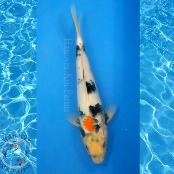 "This is a Showa 11"" long from Hanover Koi Farms"